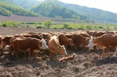 150511 - RS - KIM JONG UN - Genosse KIM JONG UN besuchte die Rinderfarm '18. Juli' - 11 - 경애하는 김정은동지께서 조선인민군 제580군부대산하 7월18일소목장을 현지지도하시였다