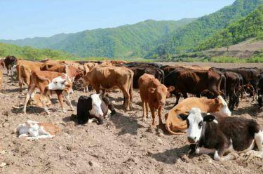 150511 - RS - KIM JONG UN - Genosse KIM JONG UN besuchte die Rinderfarm '18. Juli' - 13 - 경애하는 김정은동지께서 조선인민군 제580군부대산하 7월18일소목장을 현지지도하시였다