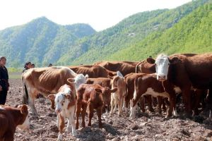 150511 - SK - KIM JONG UN - Genosse KIM JONG UN besuchte die Rinderfarm '18. Juli' - 09 - 경애하는 김정은동지께서 조선인민군 제580군부대산하 7월18일소목장을 현지지도하시였다