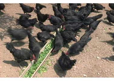 150813 - RS - KIM JONG UN - Marschall KIM JONG UN besichtigte den Landwirtschaftsbetrieb Nr. 1116 der 810. Truppe der KVA - 16 - 경애하는 김정은동지께서 조선인민군 제810군부대산하 1116호농장을 현지지도하시였다