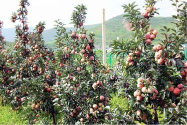 160818 - 조선의 오늘 - KIM JONG UN - Marschall KIM JONG UN besuchte das Obstbaukombinat Taedonggang - 11 - 경애하는 김정은동지께서 대동강과수종합농장을 현지지도하시였다