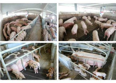 160818 - RS - KIM JONG UN - Marschall KIM JONG UN besichtigte den Schweinezuchtbetrieb Taedonggang - 04 - 경애하는 김정은동지께서 대동강돼지공장을 현지지도하시였다